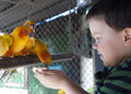 Boy feeds colorful parrots Royalty Free Stock Image