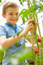 Boy harvesting home grown tomatoes in greenhouse close up of happy Royalty Free Stock Image