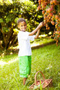 Boy picking lychees Royalty Free Stock Photo