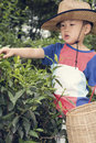 Boy plucking tea leaves