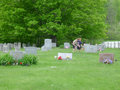Boy scouts on memorial day placing american flags the graves of fallen soldiers Stock Photos
