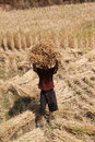 Boy with stack of hay whaet on head madagascar october carrying wheat posing useful for international publications people at work Stock Photos