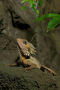 Boyd s forest dragon hypsilurus boydii is restricted to the rainforests of northern queensland australia it has very enlarged Stock Photo