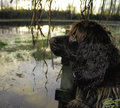 Boykin Spaniel waiting for ducks to retreive. Stock Photo