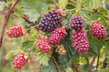 Boysenberry bush with ripening berries Royalty Free Stock Photo
