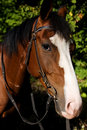 Bozal del caballo con el crub Fotografía de archivo