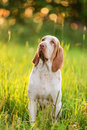 Bracco Italiano standing in grass at summer sunset