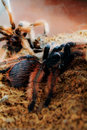 Brachypelma klaasi in the  terrarium after molting Royalty Free Stock Photo
