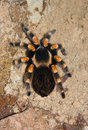 Brachypelma Smithi Stock Photo