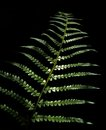 Bracken leaf Royalty Free Stock Photo