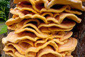 Bracket fungus Royalty Free Stock Photography