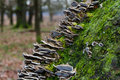 Bracket fungus on bark gilled polypore lenzites betulinus and moss the of an old silver birch Royalty Free Stock Photo