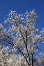 Bradford Pear Tree Blooms Royalty Free Stock Photo