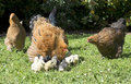 Brahma chicken and chicks Royalty Free Stock Photo