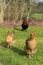 Brahma chickens outdoor in the grass pastures Stock Photo