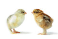 Brahma pair of little pedigreed chicks with shaggy paws yellow and brown look at each other on white background Stock Photos