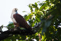 Brahmini kite portrait canon mm f iso perching on a tree branch Stock Image