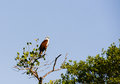 Brahminy kite a is perched watchfully in a mangrove Royalty Free Stock Photography
