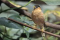 Brahminy myna the adult sitting on the branch Stock Image