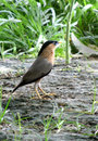 Brahminy starling in the backyard beautiful bird india Stock Photography