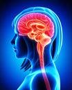 Cerebro cruzar parte