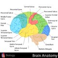 Brain anatomy easy to edit illustration of diagram Stock Images