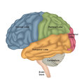 Brain anatomy. Human brain lateral view. Illustration isolated o Royalty Free Stock Photo