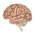 Brain anatomy human lateral view illustration isolated on white background Stock Images