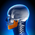 Brain anatomy mandible medical imaging Stock Image