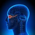 Brain Anatomy - Optical Nerve / Eye Royalty Free Stock Photo
