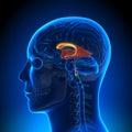 Brain Anatomy - Ventricles Royalty Free Stock Photo