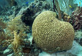 Brain Coral - Belize Reef Royalty Free Stock Photo