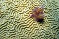 Brain Coral Christmas