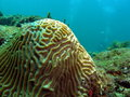 Brain Coral and Diver Royalty Free Stock Images
