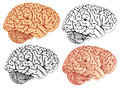 Brain, four variation. Stock Photography