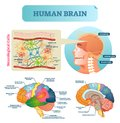 Brain vector illustration. Medical educational scheme with neurological cells. Silhouette with cerebrum, stem, cortex and lobe. Royalty Free Stock Photo