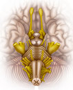 Brainstem bottom view illustration with brain stem with the various elements that compose Royalty Free Stock Photography