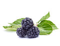 Bramble Royalty Free Stock Photography