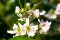 Bramble berry flowers Stock Photo