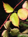 Bramble leaf which shows vibrant color in autumn season Stock Photography