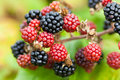 Brambles blackberries rubus fruiticosus ripening in early autumn Stock Photos
