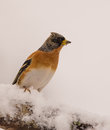 Brambling fringilla montifringilla perching snow covered branch picos de europa national park belonging to cantabrian mountain Stock Photo