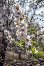A branch of almond tree with pink flowers and leaves Royalty Free Stock Photo