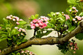 Branch of an apple-tree Stock Photo