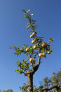 Branch of an apple tree Royalty Free Stock Images