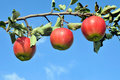 Branch of an apple tree Stock Photo