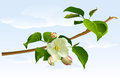 Branch apple tree with flowers Royalty Free Stock Image