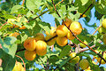 Branch with apricots in orchard ripening on a tree Stock Images
