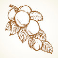Branch with apricots. Vector drawing