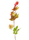 Branch of autumn leaves isolated on a white background parthenocissus quinquefolia studio shot Royalty Free Stock Photography